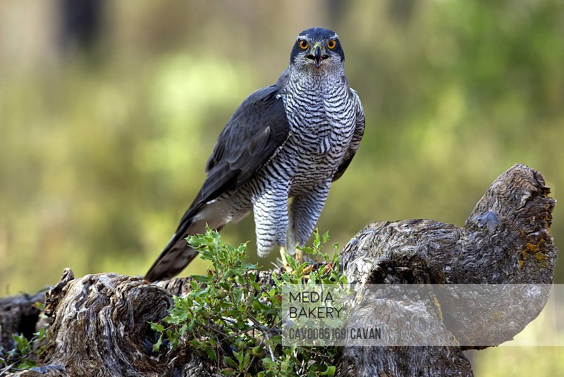 Adult male of Northern goshawk in the morning, Accipiter gentilis