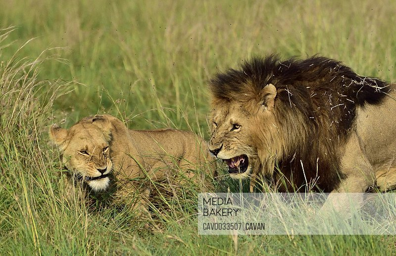 A male & female lion interact
