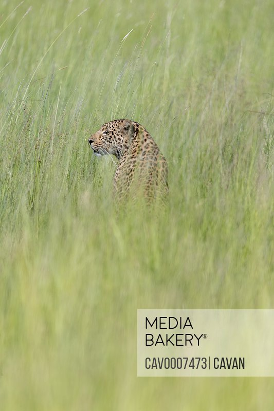 a leopard sits in the grass and looks around him