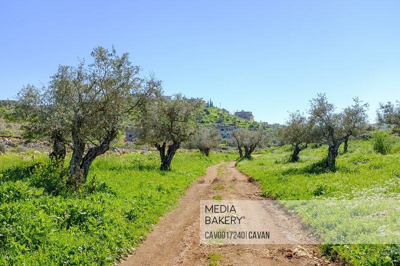 Masar Ibrahim trail passes through olive groves, Jenin, West Bank, Palestine