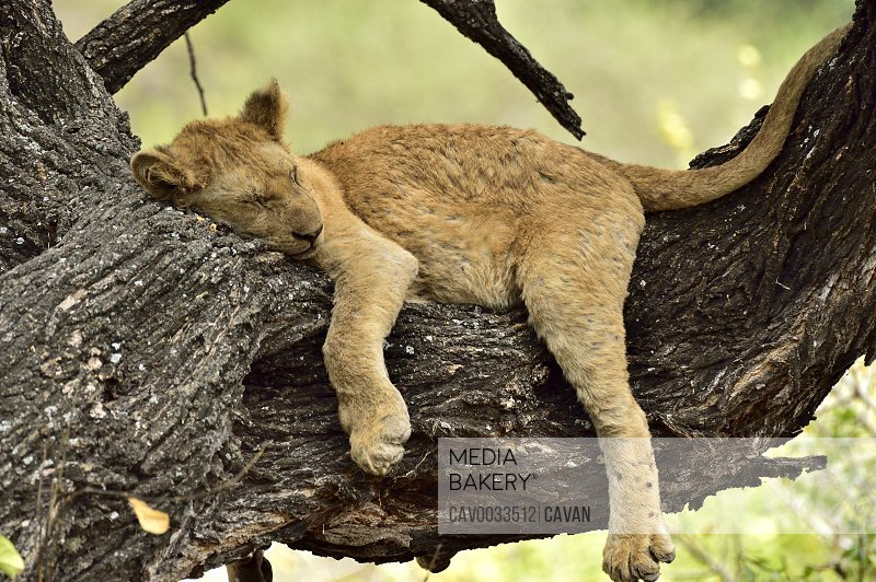 A young lion naps on a tree branch