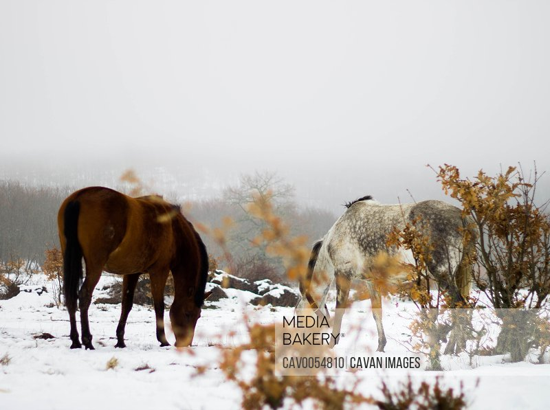 two horses eating in the snow, one white and one brown