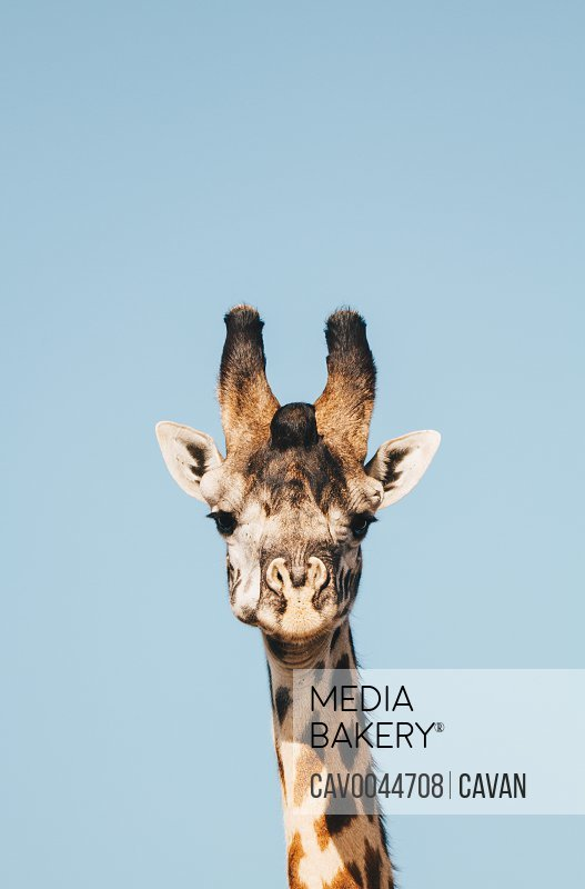 Giraffe in Maasai Mara National Reserve<br><br><span style='color: red'>Editorial Use Only.</span><br><br>