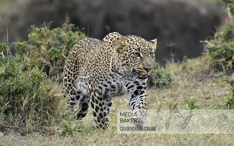 A beautiful leopard on a hunt