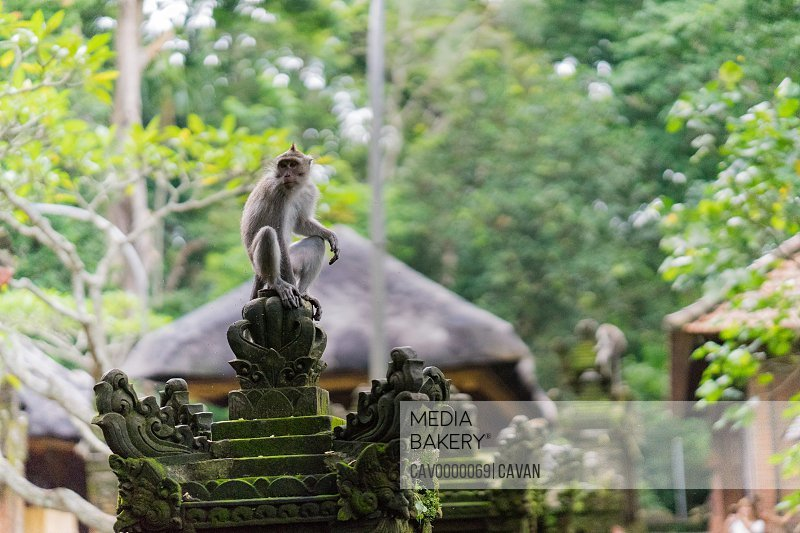 Balinese monkey siting on top of the fence