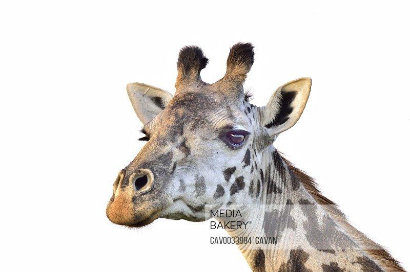 A giraffe close up
