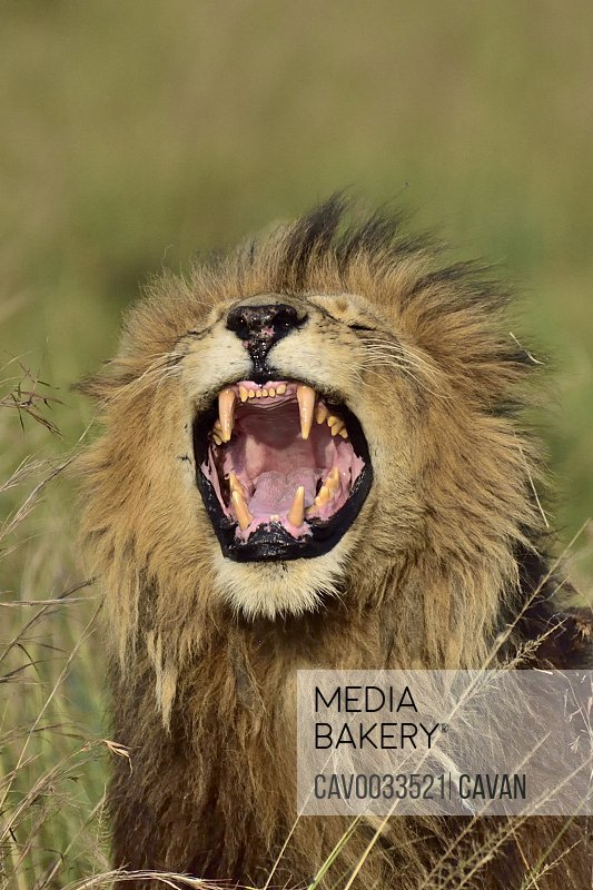A male lion roars, showing his large teeth