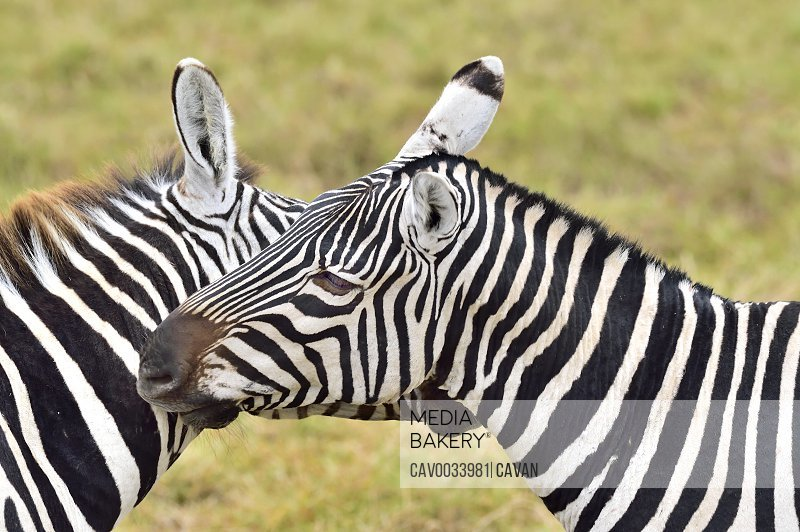 Zebras scratching each other