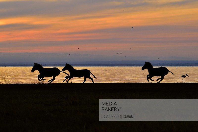 Zebras at sunrise on Lake Manyara