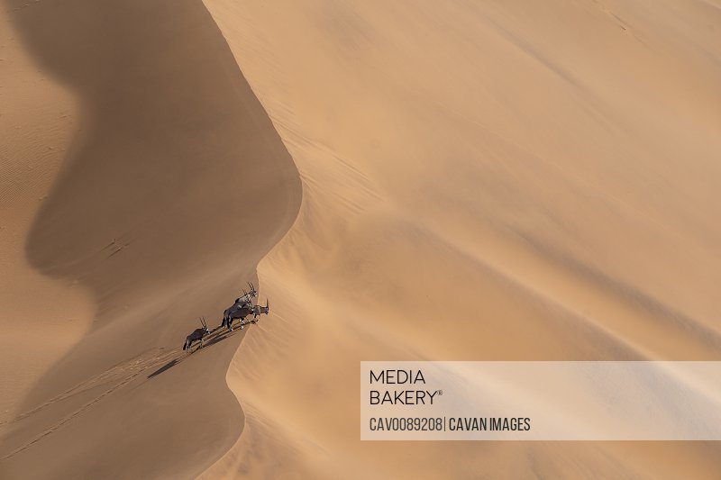 A group of Oryx stands on the crest of a sand dune