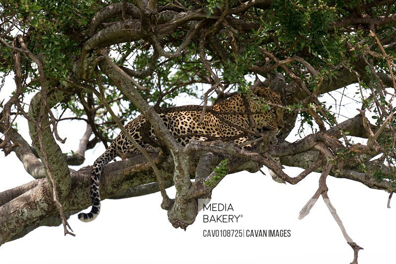 A leopard has settled comfortably between the branches of a tree to rest