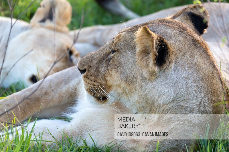 A closeup of a lioness trying to rest in the grass