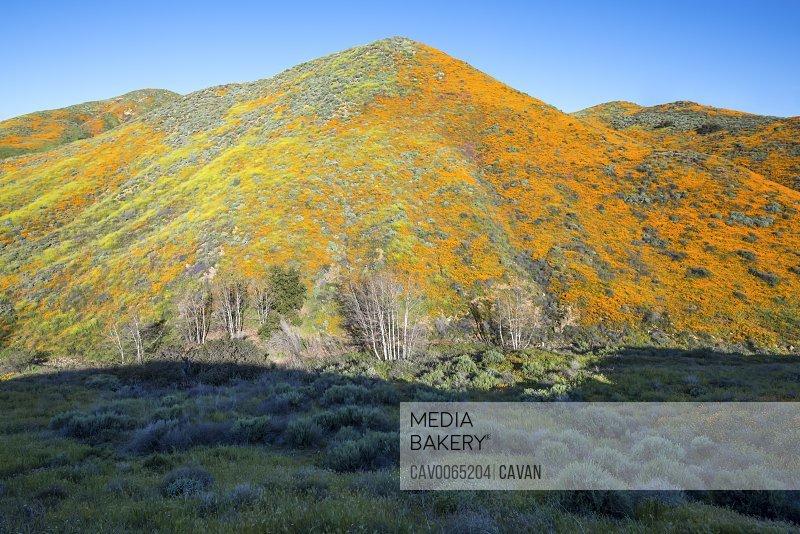 Wildflower superbloom at Walker Canyon.