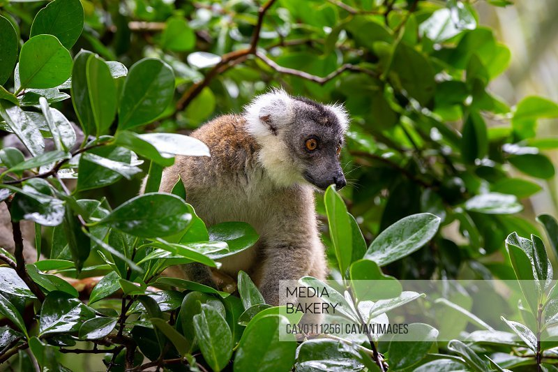 A lemur on a tree, between the foliage in a rainforest in Madagascar