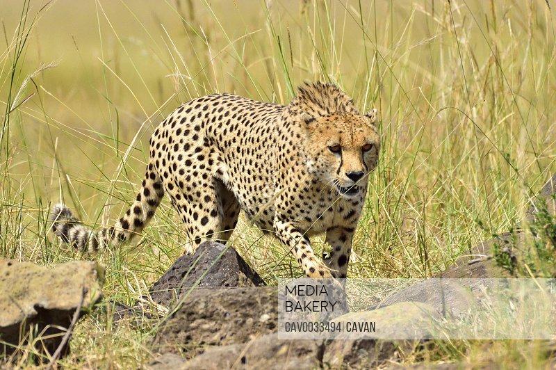 A cheetah stalks it's prey