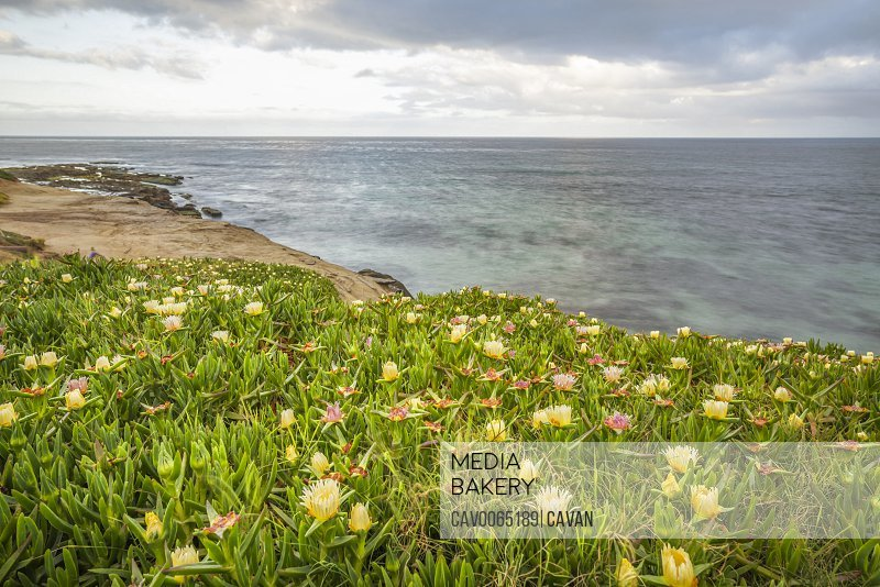 Ice plant and flowers on the edge of the sea. La Jolla, CA.