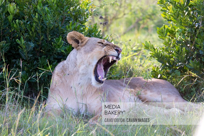 A lioness lying in the grass and yawns