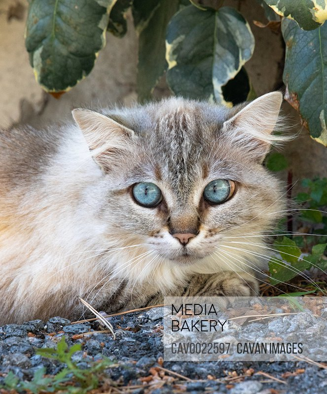 Female cat with bluesky eyes