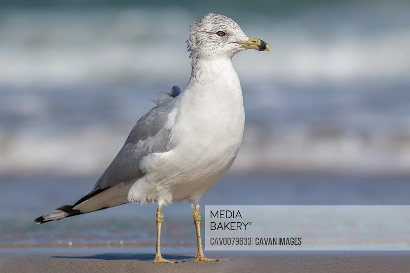 A Ring-billed Gull (non-breeding) Walking Along a Beach