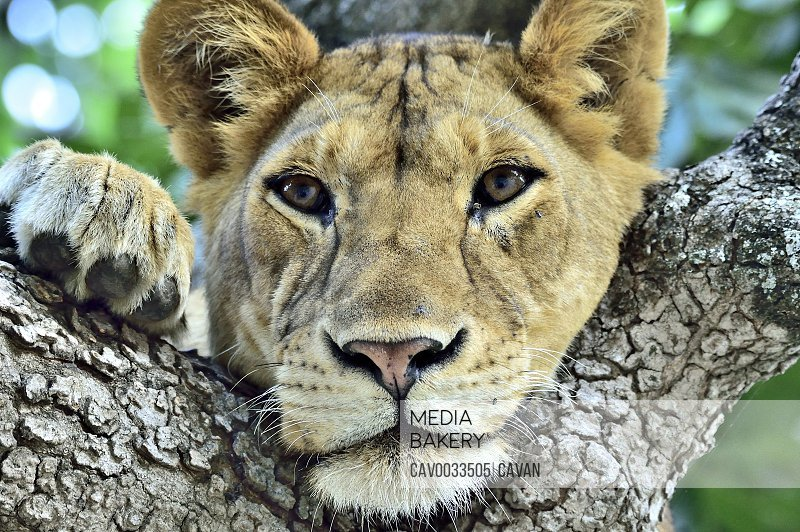 A young lion rests in a tree branch