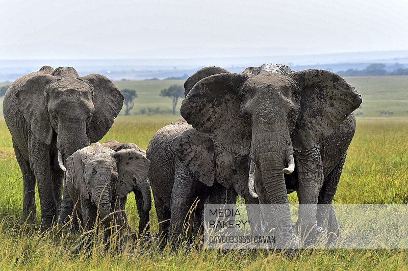 A group of elephants cools off in a pool of water on the savannah