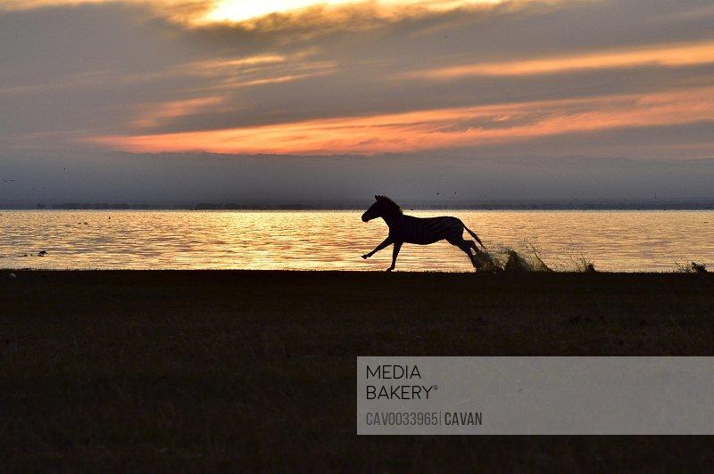 A zebra at Lake Manyara at sunrise