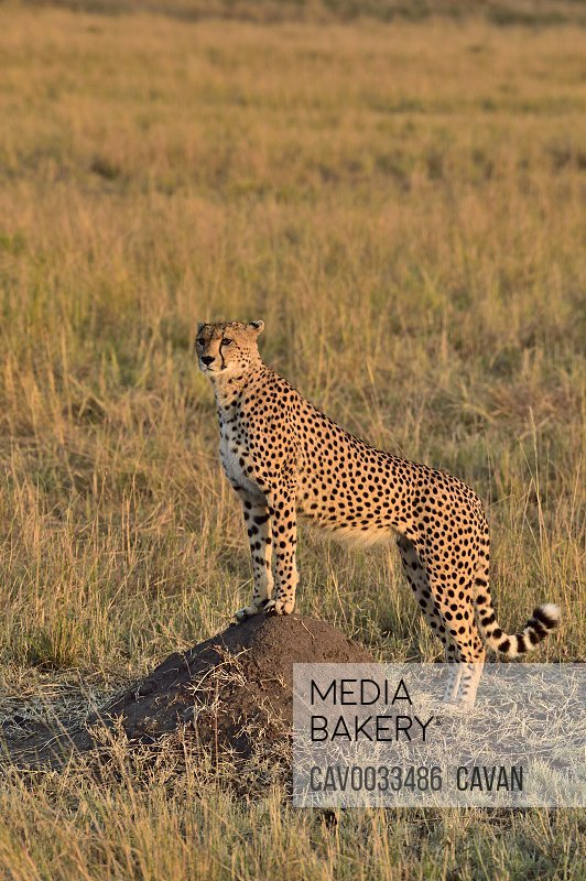 A cheetah watches over the savannah