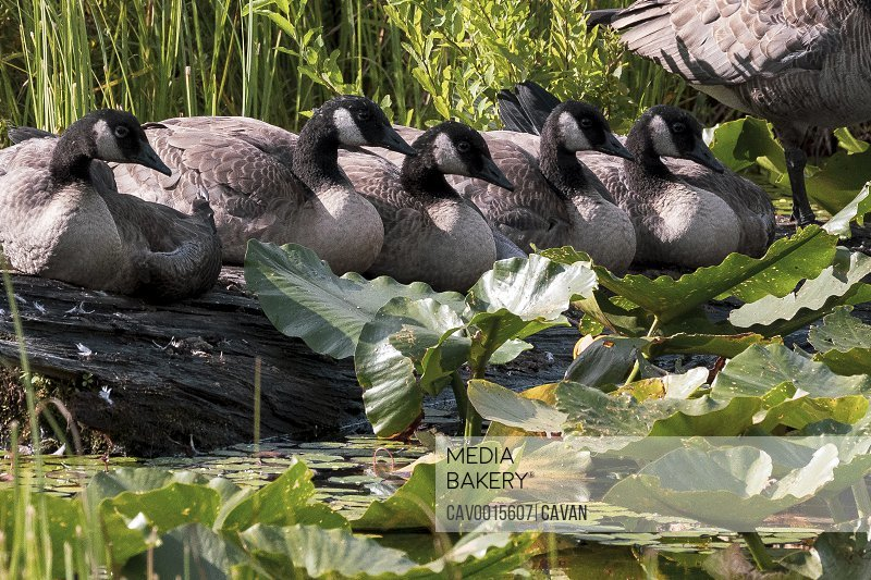 A group of Canada Geese sit on a log on a sunny summer morning.