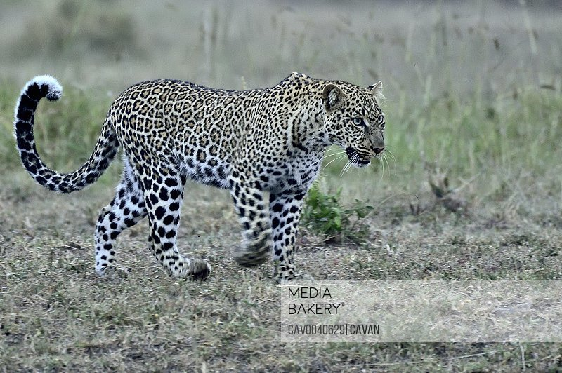 A leopard follows its prety across the savannah