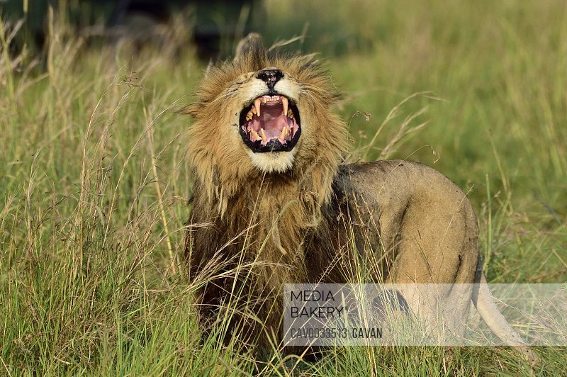 A large male lion roars to show his dominance