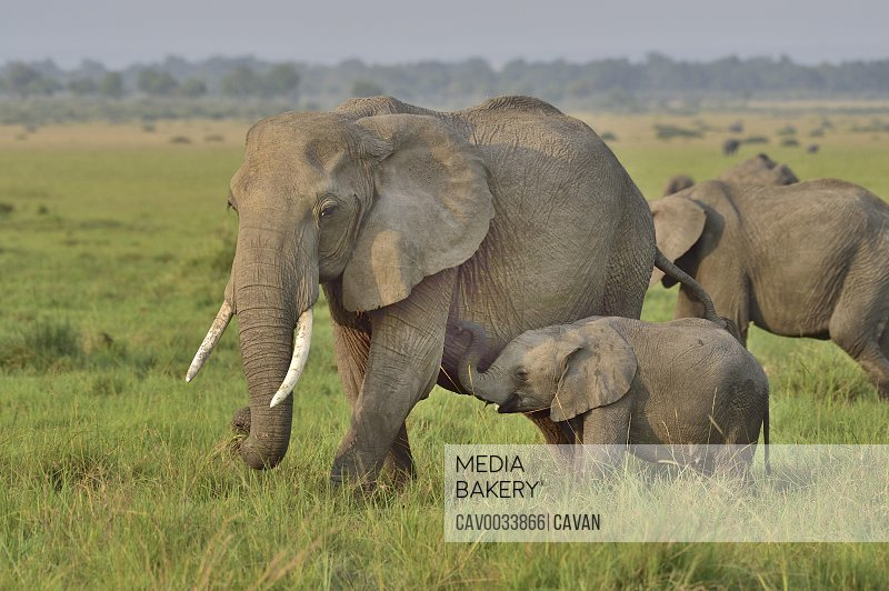 African elephant mom & baby on the savannah