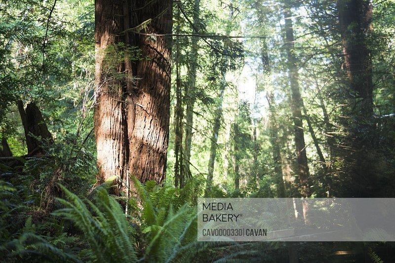 Redwoods in Crescent City California