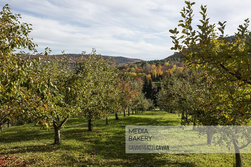 Apple trees line an orchard in Quechee, Vermont.