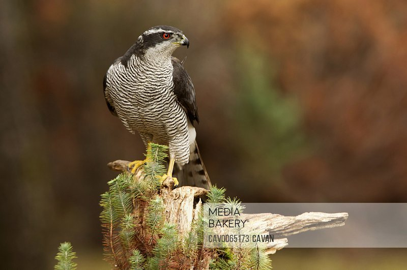 Adult male of Northern goshawk with the last light, Accipiter gentilis