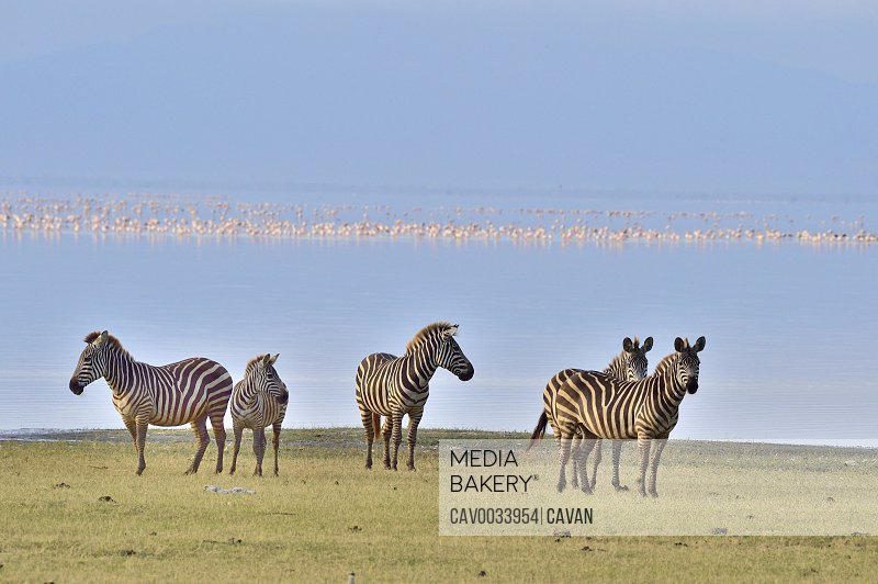 Zebras at Lake Manyara