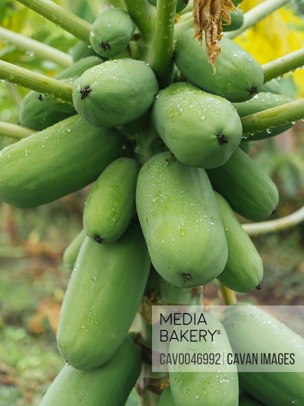 Green Papaya on papaya tree