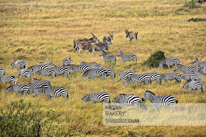 Zebras and antelope on the savannah