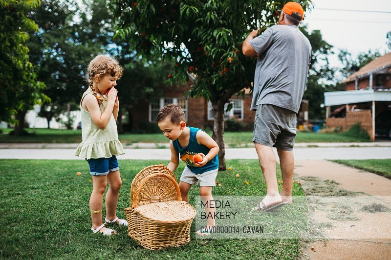 Young boy putting peaches from tree into a basket with grandfather