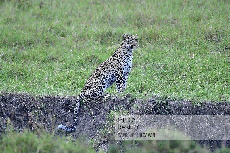 A leopard sits watching the savannah