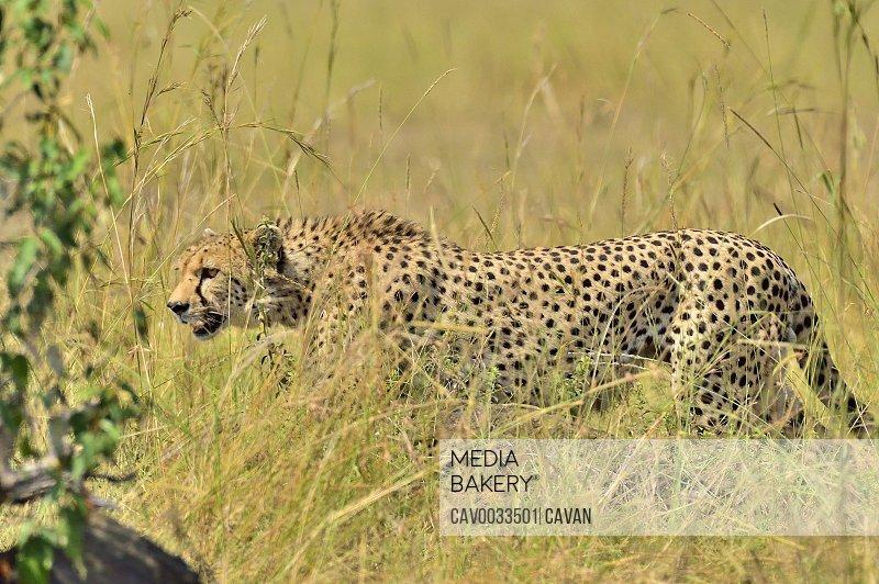 A beautiful cheetah hunts it's prey