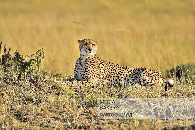 A cheetah lies down for a rest on the savannah