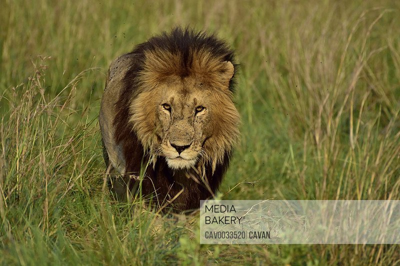 A male lion watches his prey