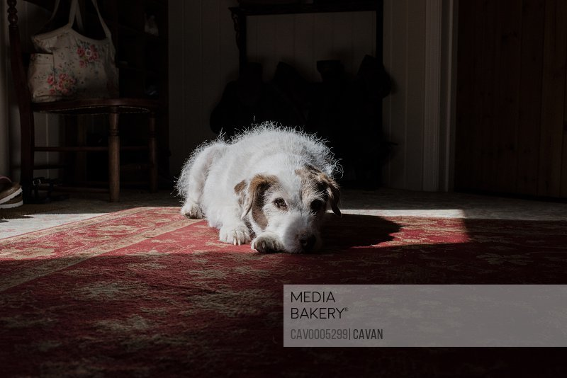 dog laying on the floor looking at the camera in a house