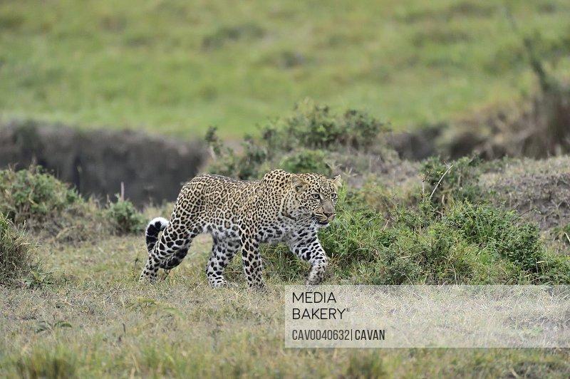 A leopard hunts its prey