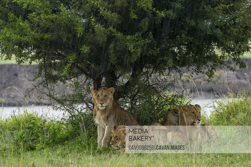 a group of young lion protect themselves from the rain under a tree