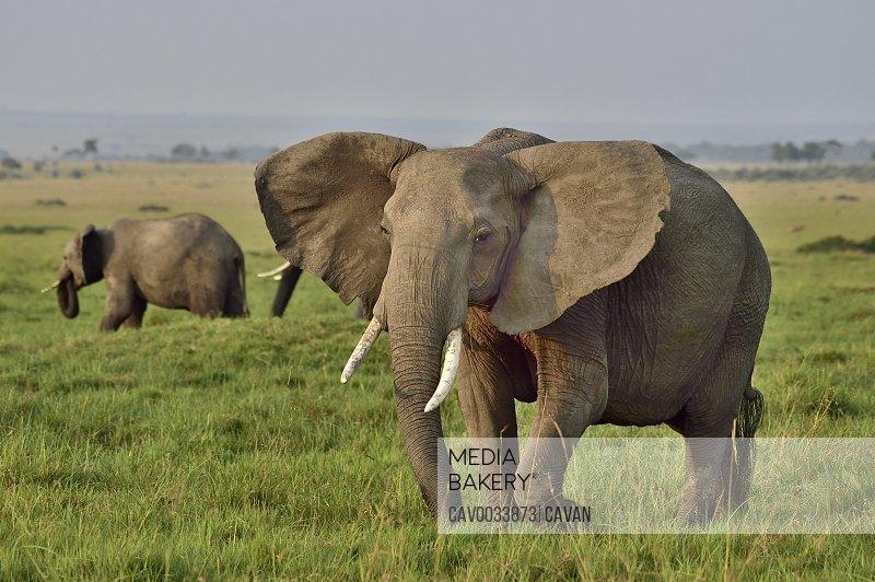 Beautiful African elephant
