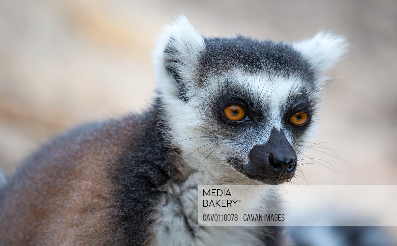 A portrait of a ring-tailed lemur in close-up