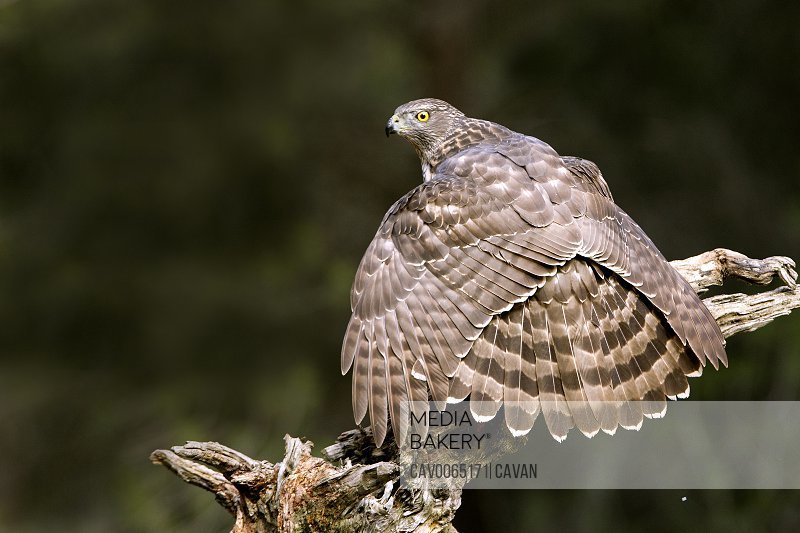 Young female of Northern goshawk, Accipiter gentilis