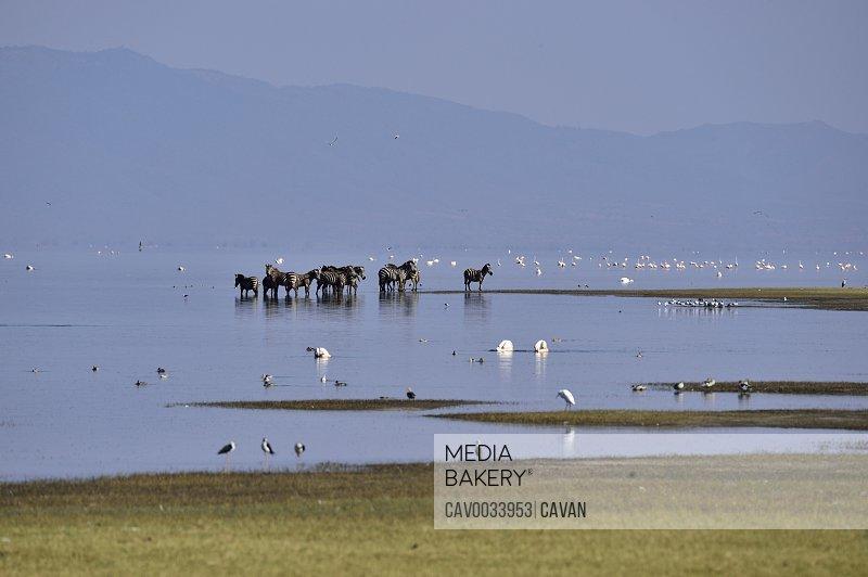 Zebras and birds on Lake Manyara
