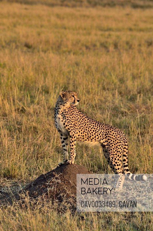 A large cheetah looks over the savannah
